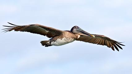 Pelican (pelecanidae) in flight against cloudy sky