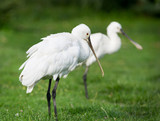 Two spoonbills stand on grass