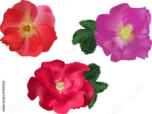 set of bright color brier flowers