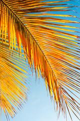palmes mûres de cocotier des îles