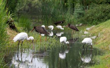 black stork and waders in water