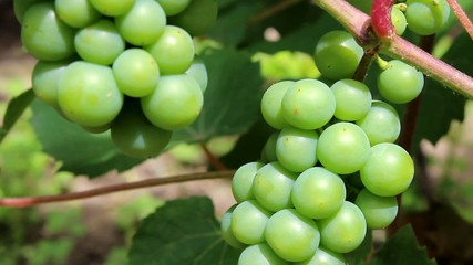 green grapes in the summer garden