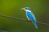 Portrait of Collared Kingfisher (Todiramphus chloris)