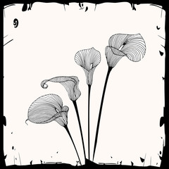 Calla illustration