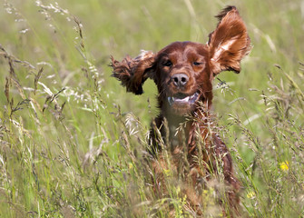 Cute Irish Setter running