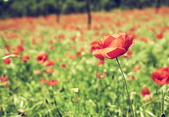 Vintage red poppies on green field