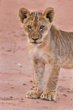 Beautiful lion cub on kalahari sand