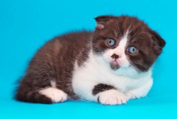 Scottish fold kitten. Kitten with blue eyes on a blue background