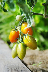 Tomato plant sprayed with protective mixture