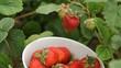 Hand picking strawberries in garden.