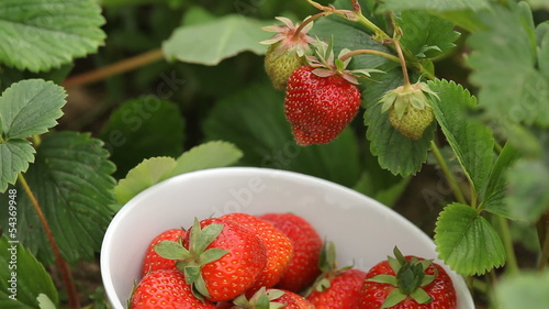 Hand picking strawberries in garden.