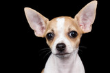 Small chihuahua  looking at the camera with a funny expression