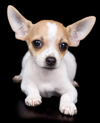 Chihuahua dog laying on a black background