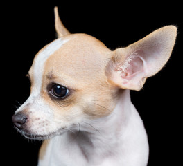 Head of a small chihuahua dog isolated on black