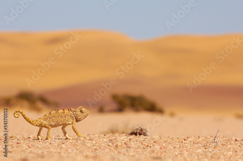 Desert Chamaeleon in the Namib, Namibia