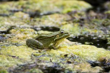 Natural Frog