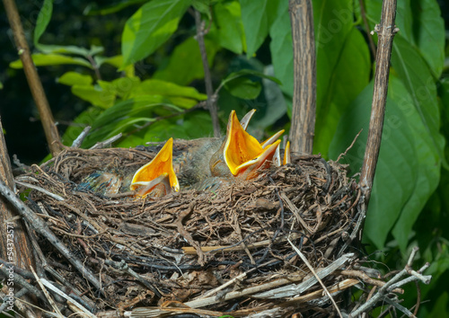Nest of thrush 12