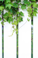 Section of white PVC fence with ivy growing on it