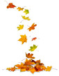 Maple leaves falling to the ground, white background.