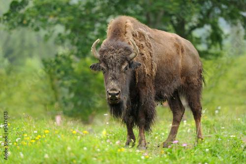 Foto op Canvas Buffel Bison
