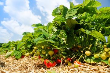 Erdbeeren auf Erdbeerfeld