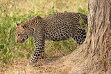Leopard moving in the bush