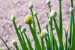 Onion plant with flower head
