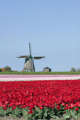 Tipical Dutch landscape with tulips and windmilen