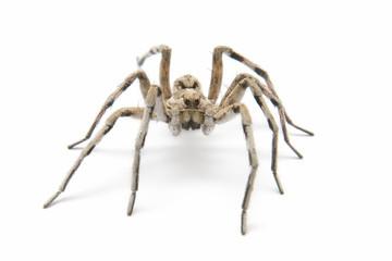 tarantula wolf