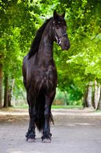 Portrait en pied de cheval frison