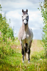 Dutch Warmblood horse on a field
