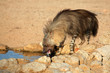 Brown hyena drinking water, Kalahari desert