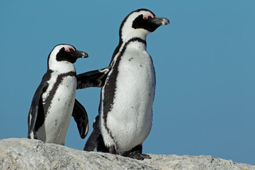African penguins against a blue sky