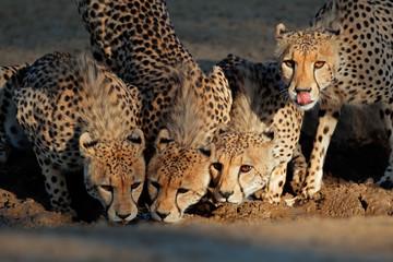 Cheetahs drinking water, Kalahari desert