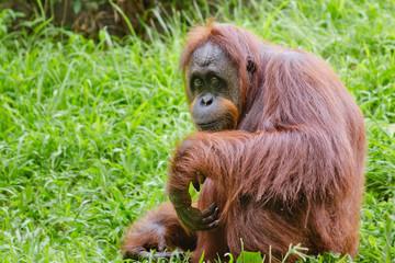 Portrait of female orangutan (Pongo pygmaeus)