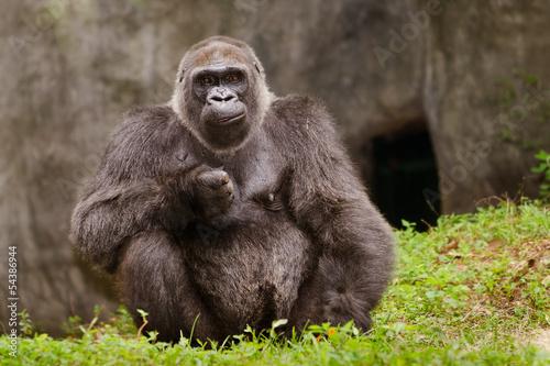 Foto op Canvas Aap Western Lowland gorilla