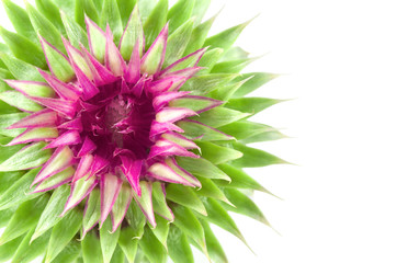 flower of pink and green thistle