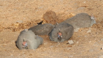 Helmeted guineafowls  scratching in the sand