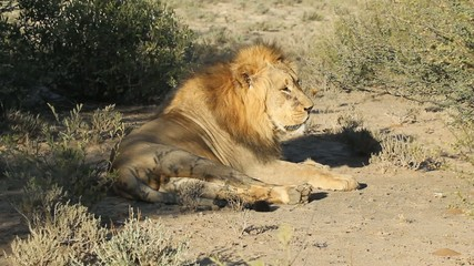 Big male African lion relaxing in the sun, South Africa
