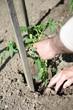 jardinage - plants de tomates