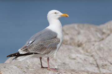 Silbermöwe, European Herring Gull, Larus argentatus