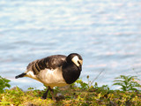 Barnacle goose, walking in front of shimmering blue water