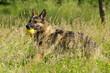 Deutscher Schäferhund apportiert Ball