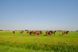 Brown horses in the green fields