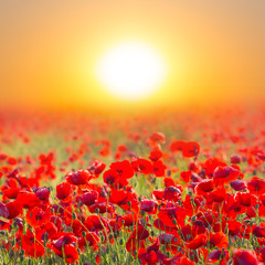 red poppy field at the sunrise