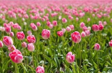 sunshine through pink tulips