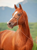 portrait of beautiful sorrel arabian stallion