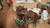 Decorated camel at the Pushkar camel fair, Rajasthan, India