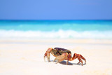 Red crab on beach, Tachai island, Similans
