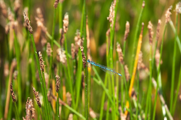 common damselfly feeding on a rush